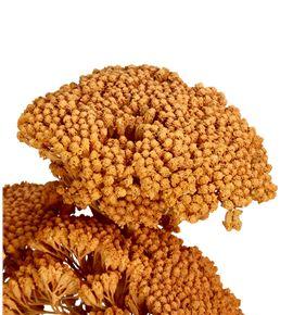 Achilea seca coral - ACHSECCOR