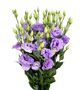 Lisianthus corelli lavender 70 - LISCORLAV