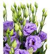 Lisianthus corelli lavender 70 - LISCORLAV1