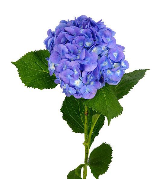 Hydr bodensee blauw 60 - HYDBODBLA