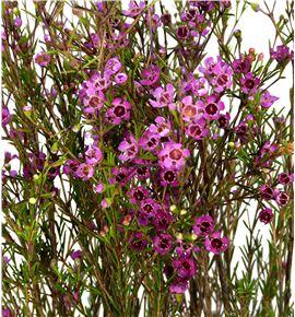 Chame purple pride 80 - CHAPURPRI