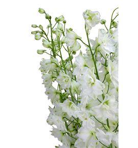 Delphinium ariel white 70 - DELARIWHI