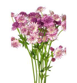 Astrantia pink pride 60 - ASTROM