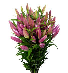 Lilium oriental hol dalian 95 - LOHDAL