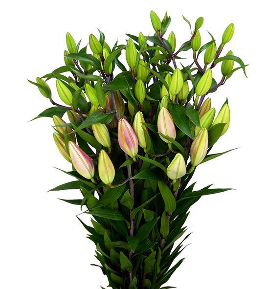 Lilium oriental hol tarrango 100 - LOHTAR