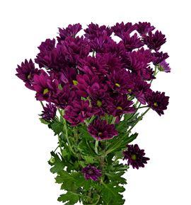 Marg hol purple star - MHPURSTA