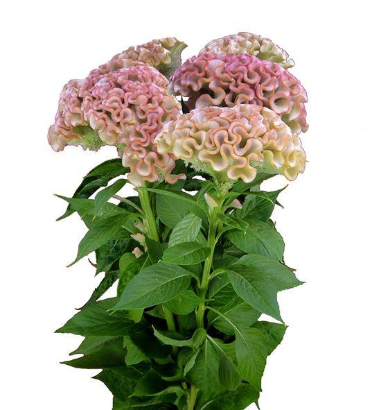 Celosia turbo royal rose 100 - CELTURROY