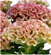 Celosia turbo royal rose 100 - CELTURROY2