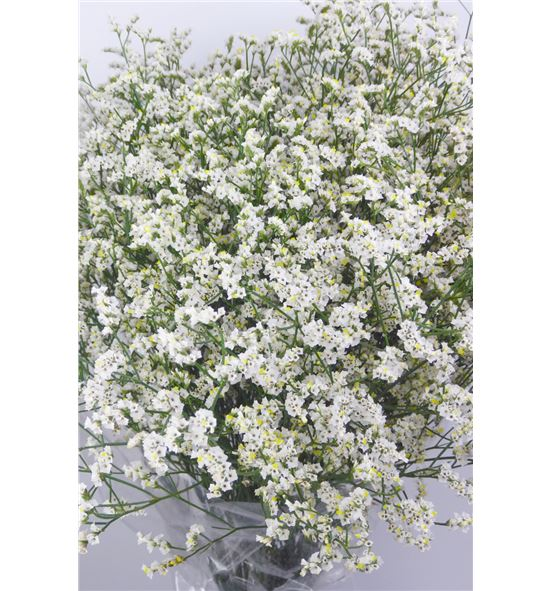 Limonium mountain diamond 65 - LIMBLADIA