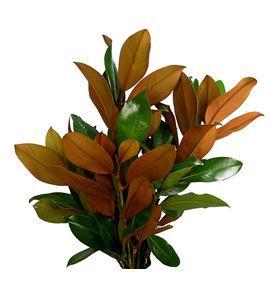Magnolia - MAG