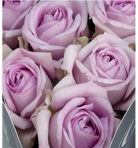 Rosa hol patchouli 40 - RGRPATC