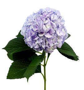 Hydr vendetta lavender 60 - HYDVENLAV