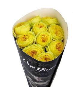 Rosa hol catalina 50 - RGRCATA