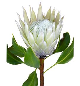 Protea artic ice 50 - PROCYNFULMOO