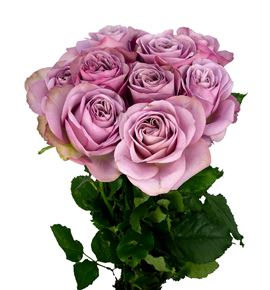 Rosa hol mont martre 40 - RGRMONMAR