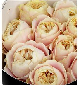 Rosa hol chiffon 70 - RGRCHI