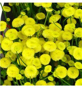 Tanacetum victory yellow 55 - TANVICYEL