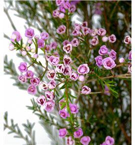 Chame pink gracia 80 - CHAPINGRA
