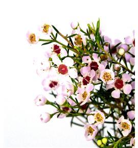 Chame un orchid 70 - CHAUNORC