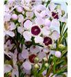 Chame un orchid 70 - CHAUNORC2
