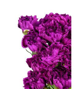 Clavel select morado - CLACOLMOR