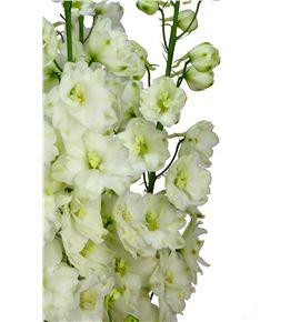 Delphinium dewi dutch 110 - DELDEWDUT