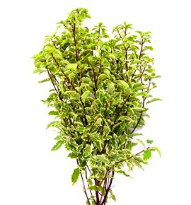 Pittosporino nigra 50 - PIT