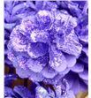 Piña lila purpurina x50 - PINLILPUR1