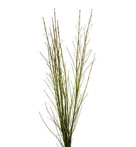 Cornus flaviramea 130cm - CORFLA