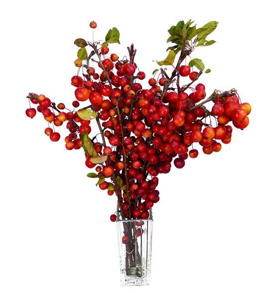 Malus red sentinel 60 - MALREDSEN