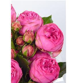 Rs ramificada pink piano freiland 35 - RTRPINPIAFRE