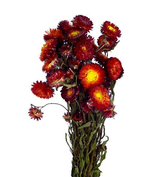 Helichrysum seco rojo - HELSECROJ
