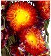 Helichrysum seco rojo - HELSECROJ1