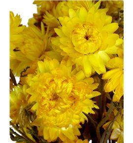 Helichrysum seco amarillo - HELSECAMA
