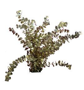 Eucaliptus cinerea platino - EUCINPLAT