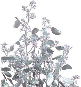 Eucaliptus populus plata - EUPOPPLA