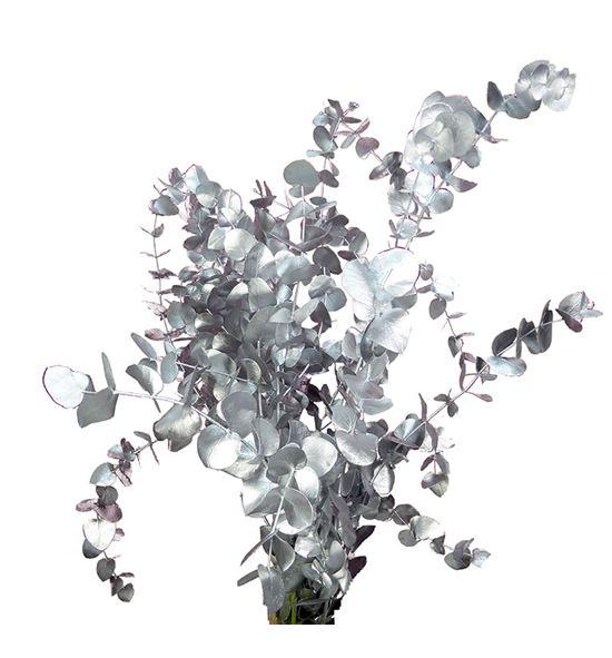 Eucaliptus cinerea plata - EUCINPLA