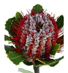 Banksia coccinea 40 - BANCOC