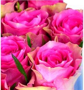 Rosa hol. shiary 50 - RGRSHI