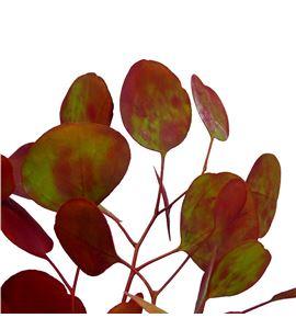 Eucaliptu populus otoñal - EUCPOPOTO