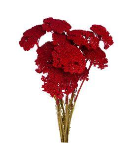 Achilea rojo 60 - ACHROJ