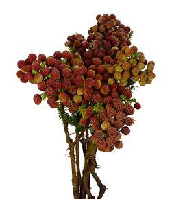 Brunia abrotanoide 60 - BRUABR