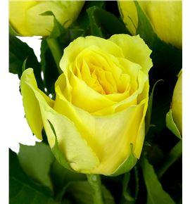 Rosa hol limelight 70 - RGRLIM