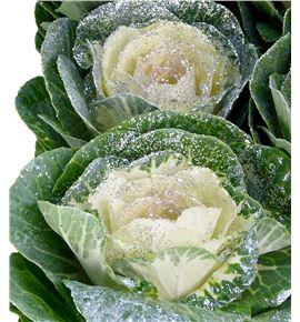 Brassica purpurina plata x5 - BRAPURPLA