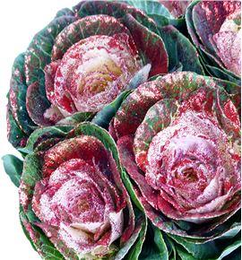 Brassica purpurina rojo x5 - BRAPURROJ