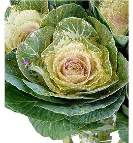Brassica purpurina oro x5 - BRAPURORO