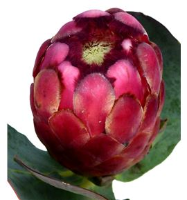 Protea grandiceps 40 - PROGRAN