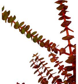 Eucaliptu baby otoñal - EUCBABOTO