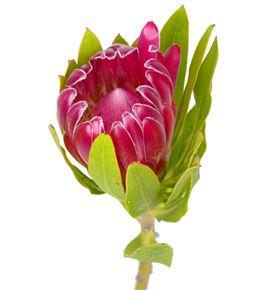 Protea brenda rosa 70 - PROBREROS