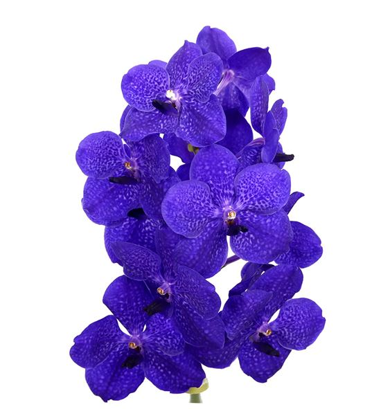 Vanda royal blue x16 - VANROYBLU